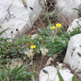 Common Rock Rose (Helianthemum nummularium)