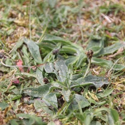 Sea Plantain or Goose-tongue (Plantago maritima)