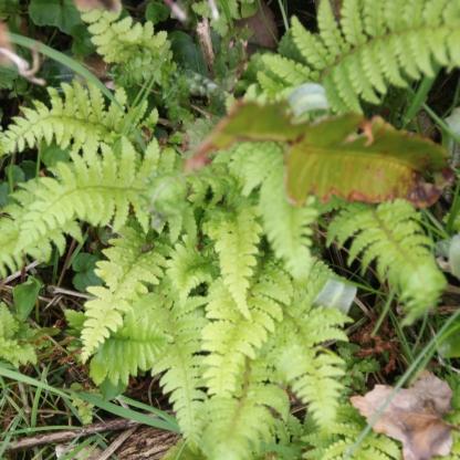 Shield Fern (Polystichum spp.)