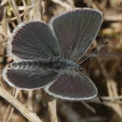 Little Blue (Cupido minimus)