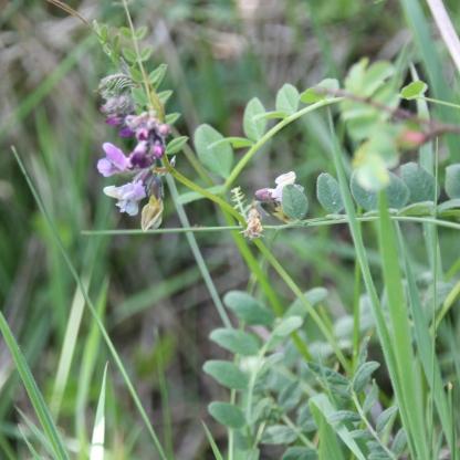 Spring Vetch (Vicia lathyroides)