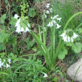Summer Snowflake (Leucojum aestivum)