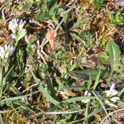 White Common Milkwort (Polygala vulgaris)