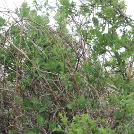Wild Honeysuckle (Lonicera periclymenum)
