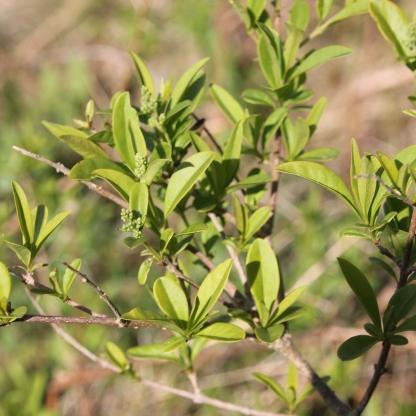 Wild Privet (Ligustrum lucidum)