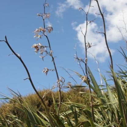 Yuccas (Adam's Needle)