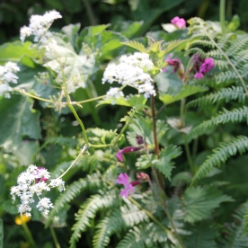 Cow Parsley, Hogweed, ferns and Red Campion