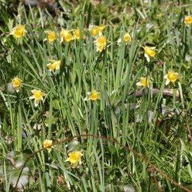 Welsh Daffodil (Narcissus pseudnarcissus)