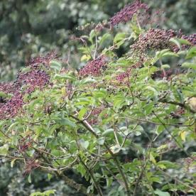 Elderberries (Sambucus niger)