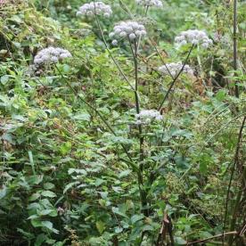 Giant Hogweed (Tragopogon pratensis)