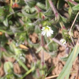 Greater Stitchwort (Stellaria holostea