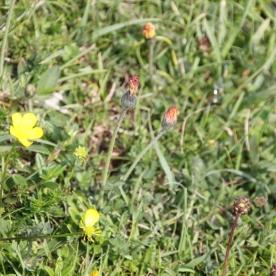 Hawkweed (Hieracium specis)
