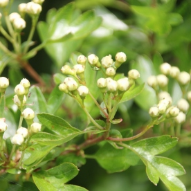 Hawthorn (Crataegus monogyna) flowers