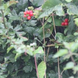 Honeysuckle berries (Lonicera periclymenum)