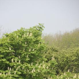 Horse Chestnut (Aesculus hippocastanum) flowers