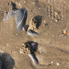 Lugworm cast ( Arenicola marina)