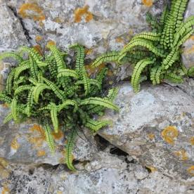 Maidenhair Spleenwort (Asplenium trichomas )