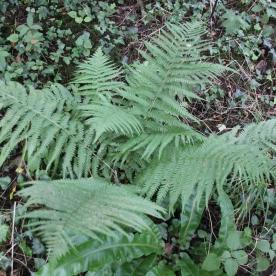 Male Fern (Dryopteris felix-mas)