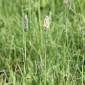 Meadow Foxtail (Alopecurus pratensis)