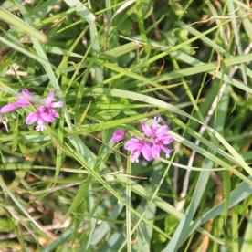 Common Milkwort pink (Polygala vulgaris)