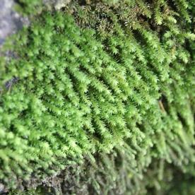 Bird's-claw Beard-moss (Barbula unguiculata)
