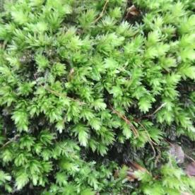 Elegant Silk-moss (Pseudotaxiphyllum elegans)