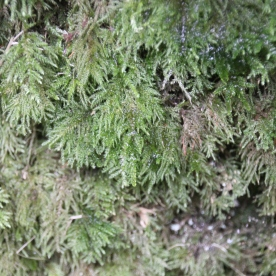 Common Feather Moss (Kindbergia praelonga)