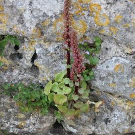 Navelwort (Umbilicus rupestris)