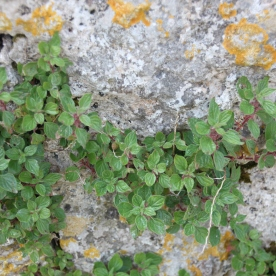 Pellitory-of-the-wall (Parietaria judaica)
