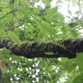 Polyploidy ferns and moss