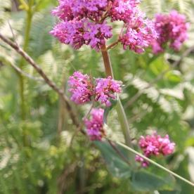 Red Valerian (Centranthus ruber)