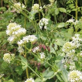 Red Valerian white (Centranthus ruber)