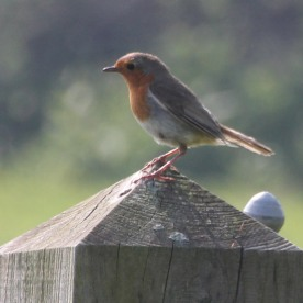 Robin male (Erithacus rubecula)