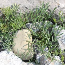Rock Samphire (Crithmum maritimum)