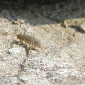 Estuarine Sand-shrimp (Gammarus duebeni)