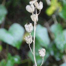 Bluebell stalk (Scilla non-scripta)