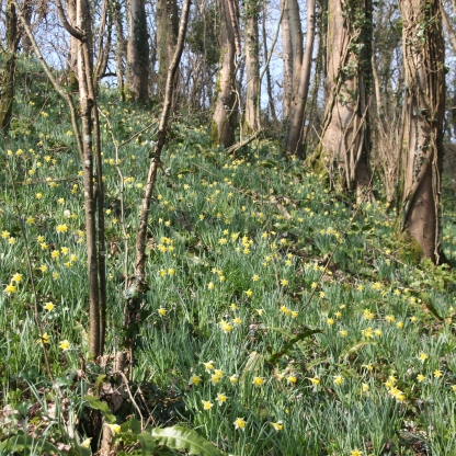 Slope of Daffodils