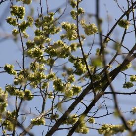 (Goat) Willow (Salix caprea)