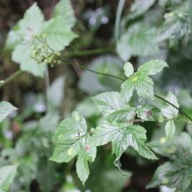 Herb Bennet Wood Avens (Geum urbanum)