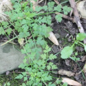 Celery-leaved Buttercup (Ranunculus scleratus)
