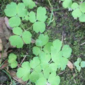 Columbine (Aquilegia vulgaris)