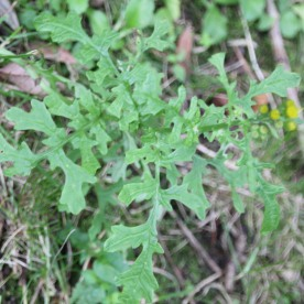 Common Ragwort (Senecio jacobaea)