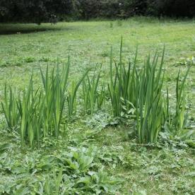 Flag Iris (Iris pseudocorus)