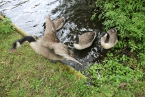 geese-hissing