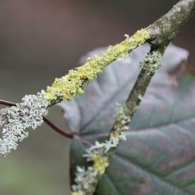 Oakmoss (Evernia prunastri) and Golden Shield Lichen (Xanthoria parietina)