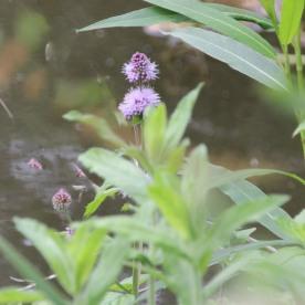 Water mint (Mentha aquatica)