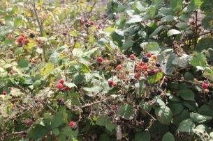 blackberries (Rubus fructicosus)