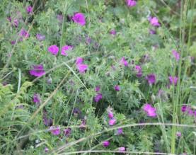 Bloody Crane's-bill (Geranium sanguineum)