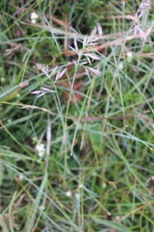 Common Bent (Agrostis capillaris)