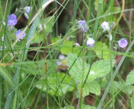 Common Field Speedwell (Veronica persica)